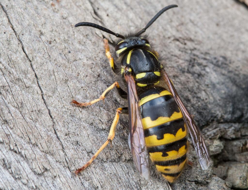 Hvepsen - en kendt sommergæst